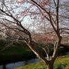 浜松市芳川2月の桜