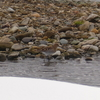 山形県東根市で、タシギを初撮影!
