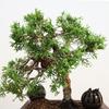 (雑記)千交苑シンパクの成長記録
