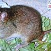哺乳類種が初めて絶滅