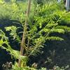 メタセコイアの葉が眩しい