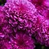 菊の花言葉は色別!紫色は「恋の勝利」?菊の色別花言葉を徹底解説