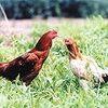 ハーブ鶏って何?基準は?どんなハーブを食べているのか?公の機関による定義付けが必要。