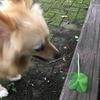 四つ葉のクローバーを発見