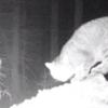 体長1.2メートル!スコットランドの森で絶滅危機の巨大猫発見!