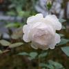 秋バラの様子3