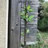 すくすくと老い六十五木の芽立ち(あ)