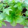 ベランダのプランターで育てた野菜の収穫