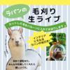 アルパカの毛刈りの様子を限定公開ライブ開催決定!