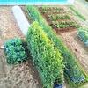 4月の菜園計画!「レイニーブルー」♪