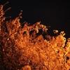 通勤途中の夜桜2