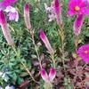 猫じゃらしのようなピンクの花、ノゲイトウ。ドライフラワーの魅力とは。