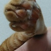愛猫うーちゃんの後ろ足の指は各5本なのです