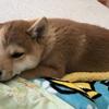 柴犬あきとの生活 31