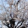 桜の花が落ちているのは・・・
