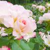 バラのお花たち。