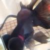 鬼嫁弁当 2021 No.291~297と金魚