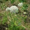 人参と大豆の花のこと