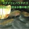 マタナゴとバラタナゴは相性良し!混泳水槽の様子!