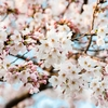 桜のやさしい景色&ちょこっと星読み