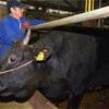 松阪牛、代理出産へ 子牛減で高騰、乳牛の母体借りる