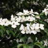 手賀沼公園のヤマボウシの白い花