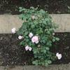 庭のバラとヴィオラとヒラリー(笑)