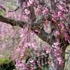 しだれ桜まつり2013 幸田町