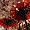 何度見ても立派な祇園の桜