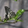 🦋近所でアゲハチョウの撮影に成功しました!