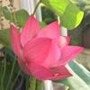 蓮の花、咲いたよ〜