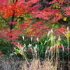 秋と冬の間な風景[モミジ][キンクロハジロ][カワセミ][カイツブリ]