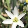 イキシア 開花
