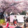 毎年1月に満開の「熱海の桜」(あたみ桜)。お花見は今年も最高!「四季×合法民泊」