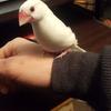 ペットを飼うのが初めての方におすすめする。文鳥いかがですか?