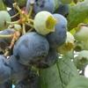 能登の『ブルーベリー狩り』は夏が旬。食べだしたら止まらない!