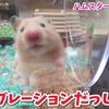 【ハムスター 動画】これは初!透明のサイレントホイールを正面から見たらハムスターが激カワすぎる!#67 I saw a running hamster from the front!