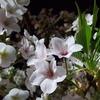 にわか夜桜見物