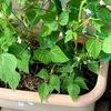 強風雨でヨレヨレのモロッコインゲン苗、痛んだ葉を取り除いて返り咲きを狙う!