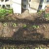 【家庭菜園】大根の間引きをしました(1回目)