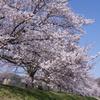 2021羽村の桜