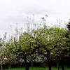 <「北海道知事館」庭園の桜>