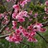 沖縄)名護城公園さくらの園から名護十字路