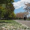 2021桜めぐり 散歩コースはそろそろ終盤 昭和公園。