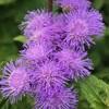 アゲラタム(カッコウアザミ)の花