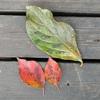 柿の葉終了、桜紅葉の季節