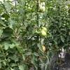 トマト&ピーマン収穫!!