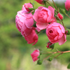 高知県モネの庭『バラ』(3)