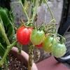 夏野菜にしちゃった!~トマト収穫!!~