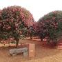 済州島(チェジュ島)冬のフォトスポット #紅色の森「椿フォレスト」